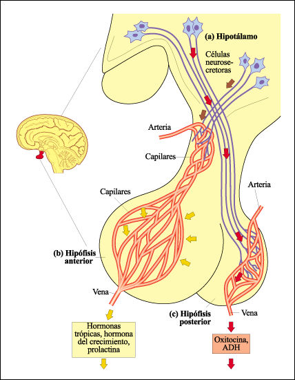 El hipotálamo y la hipófisis – Transformando el infierno