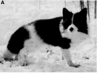 Belyaev and the Farm Fox Experiment | PSYC 100 Canine ...