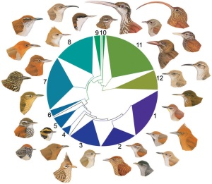 Variation in beak morphology and plumage across 350 lineages in 12 major clades of ovenbirds (species richness in each clade is represented by distance on the circumference of the phylogram; clades are coloured to facilitate interpretation). Numbered clades (species names running clockwise) are as follows: 1, Synallaxini, clade A (Certhiaxis cinnamomeus, Pseudoseisura cristata, Synallaxis azarae, Pseudasthenes cactorum); 2, Synallaxini, clade B (Cranioleuca hellmayri, Acrobatornis fonsecai, Thripophaga macroura); 3, Synallaxini, clade C (Asthenes pyrrholeuca, Coryphistera alaudina); 4, Phacellodomus (Phacellodomus erythrophthalmus); 5, Leptasthenura (Leptasthenura xenothorax, Aphrastura spinicauda); 6, Margarornis/Premnoplex (Margarornis squamiger); 7, Philydorini (Automolus ochrolaemus, Thripadectes flammulatus, Syndactyla ucayalae, Hylocryptus erythrocephalis, Clibanornis dendrocolaptoides); 8, Furnariini (Furnarius cristatus, Upucerthia jelskii); 9, Ochetorhynchus (Pygarrhichas albogularis); 10, Xenops (Xenops tenuirostris); 11, Dendrocolaptinae (Nasica longirostris, Sittasomus griseicapillus, Campylorhamphus trochilirostris, Hylexetastes stresemanni, Dendroplex picus); 12, Sclerurinae (Geositta tenuirostris, Geositta antarctica, Sclerurus guatemalensis).